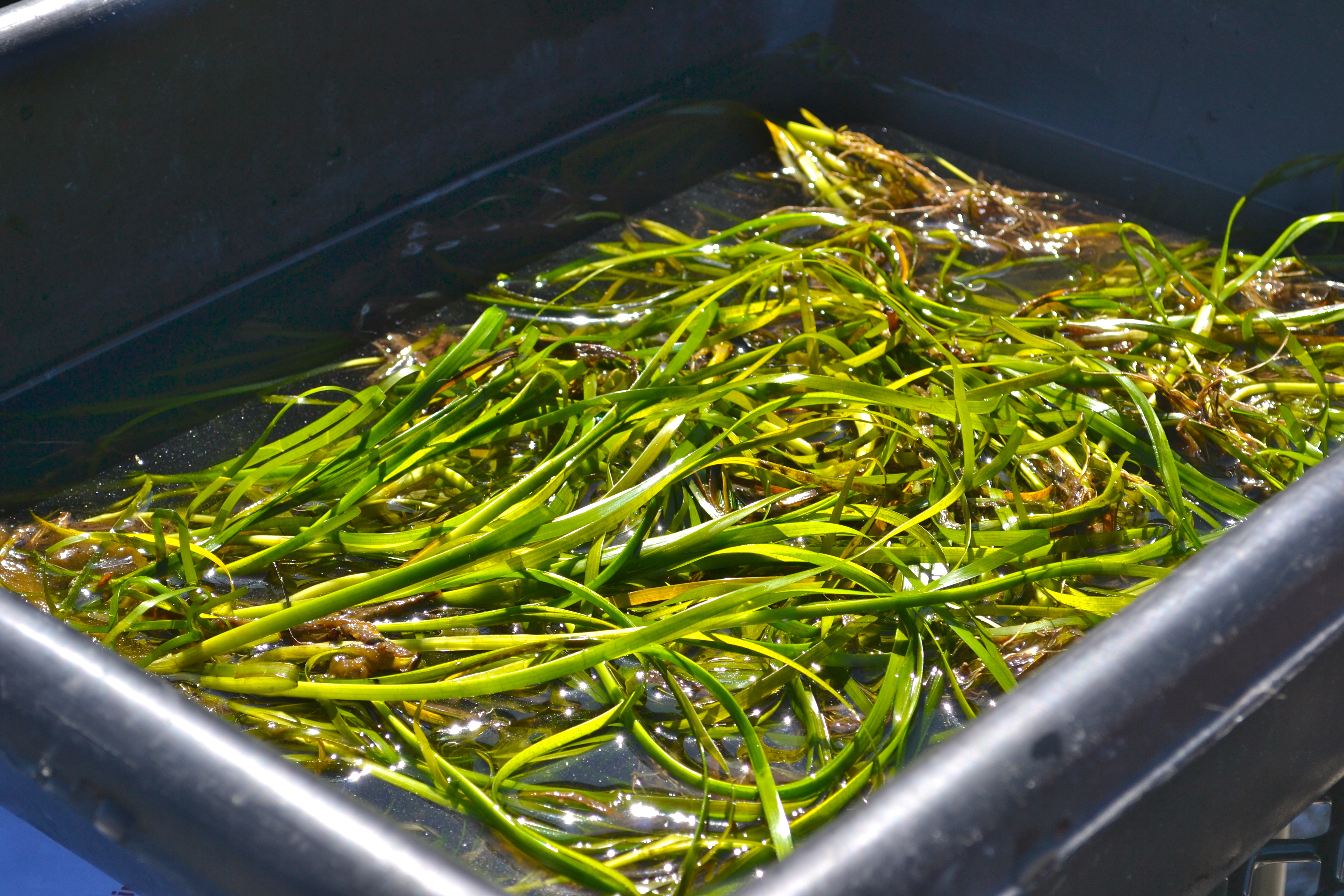 Eelgrass waiting to be weaved into discs