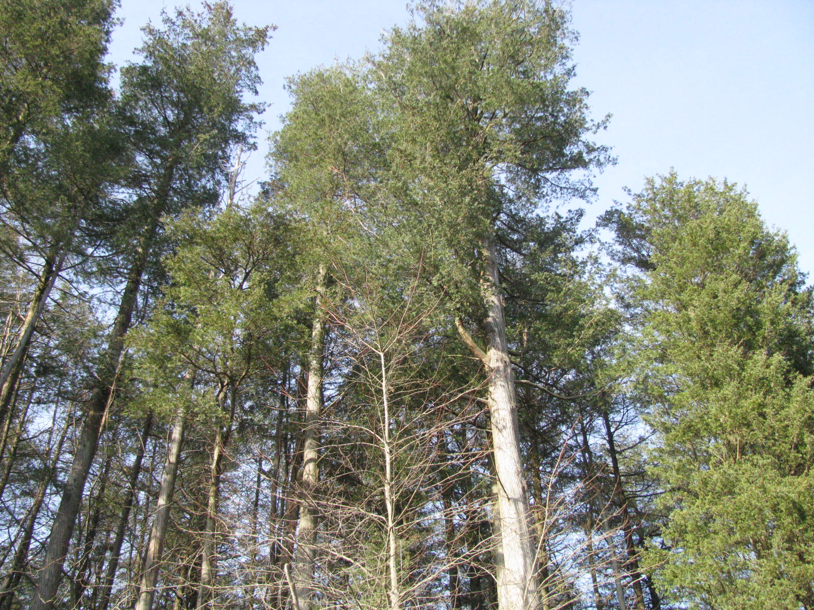Atlantic White Cedar at The Preserve
