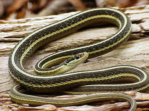 An Eastern Ribbon Snake, one of the threatened species found at The Preserve
