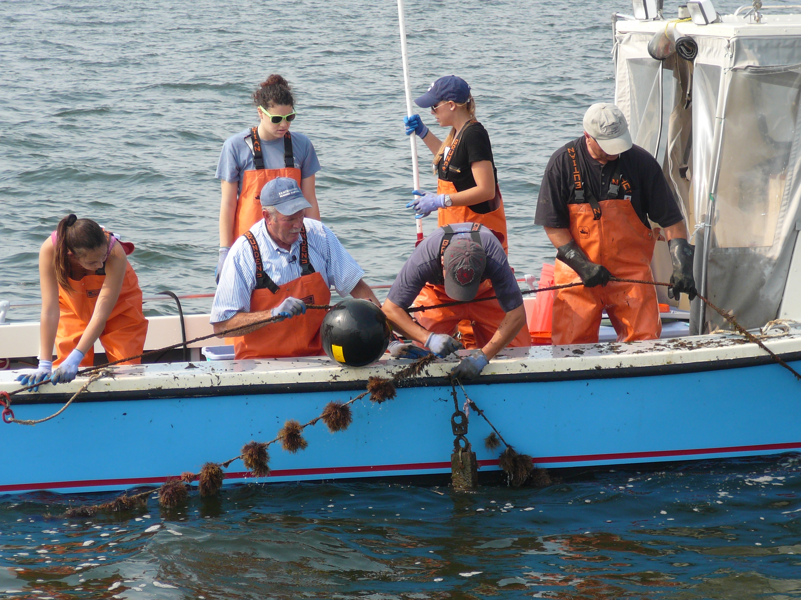 Professor Charles Yarish, in the blue hat, and his students harvesting Gracilaria in Long Island Sound. Photo by Peg Van Patten/Connecticut Sea Grant
