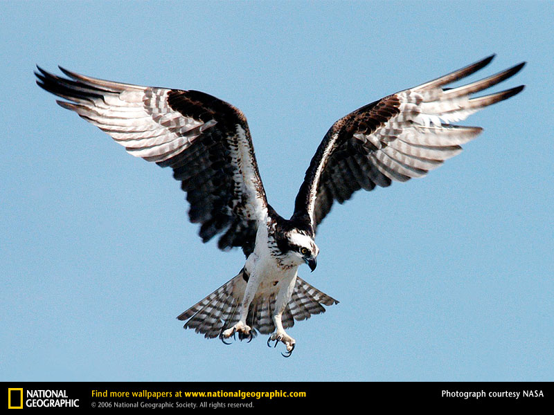 Osprey are only one of many species likely to be effected by seasonal changes to nesting, migration, and hatching patterns.  (National Geographic-NASA)