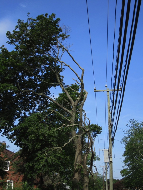 Typical routine maintenance pruning by CL&P. (Image taken by a Branford, CT resident and courtesy of the Garden Club of New Haven.)