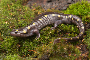 Spotted salamander, one of four species found in The Preserve. Image courtesy of Connecticut Department of Energy and Environmental Protection.