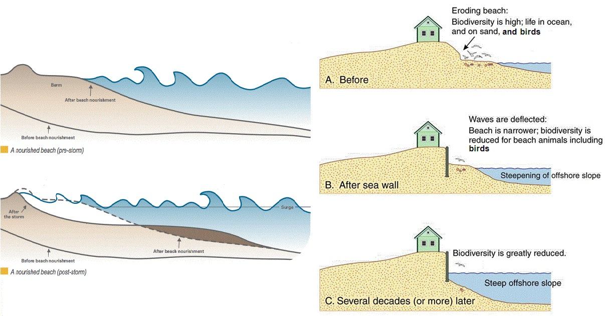 Nourishment always washes away. Armoring accelerates erosion.