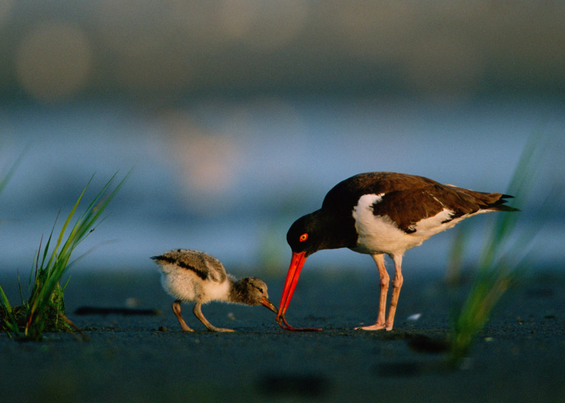 American Oystercatcher, feeding a hungry chick, Cape May National Wildlife Refuge, New Jersey. Photo credit: U.S. Fish and Wildlife Service.