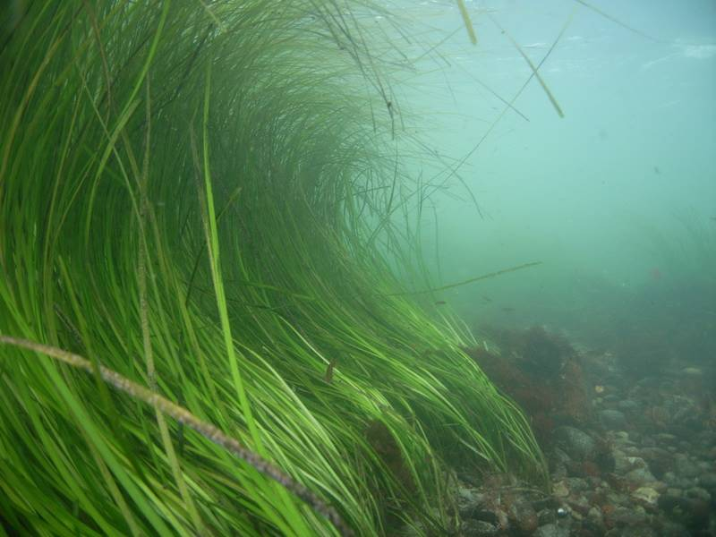 eelgrass photo credit -NOAA