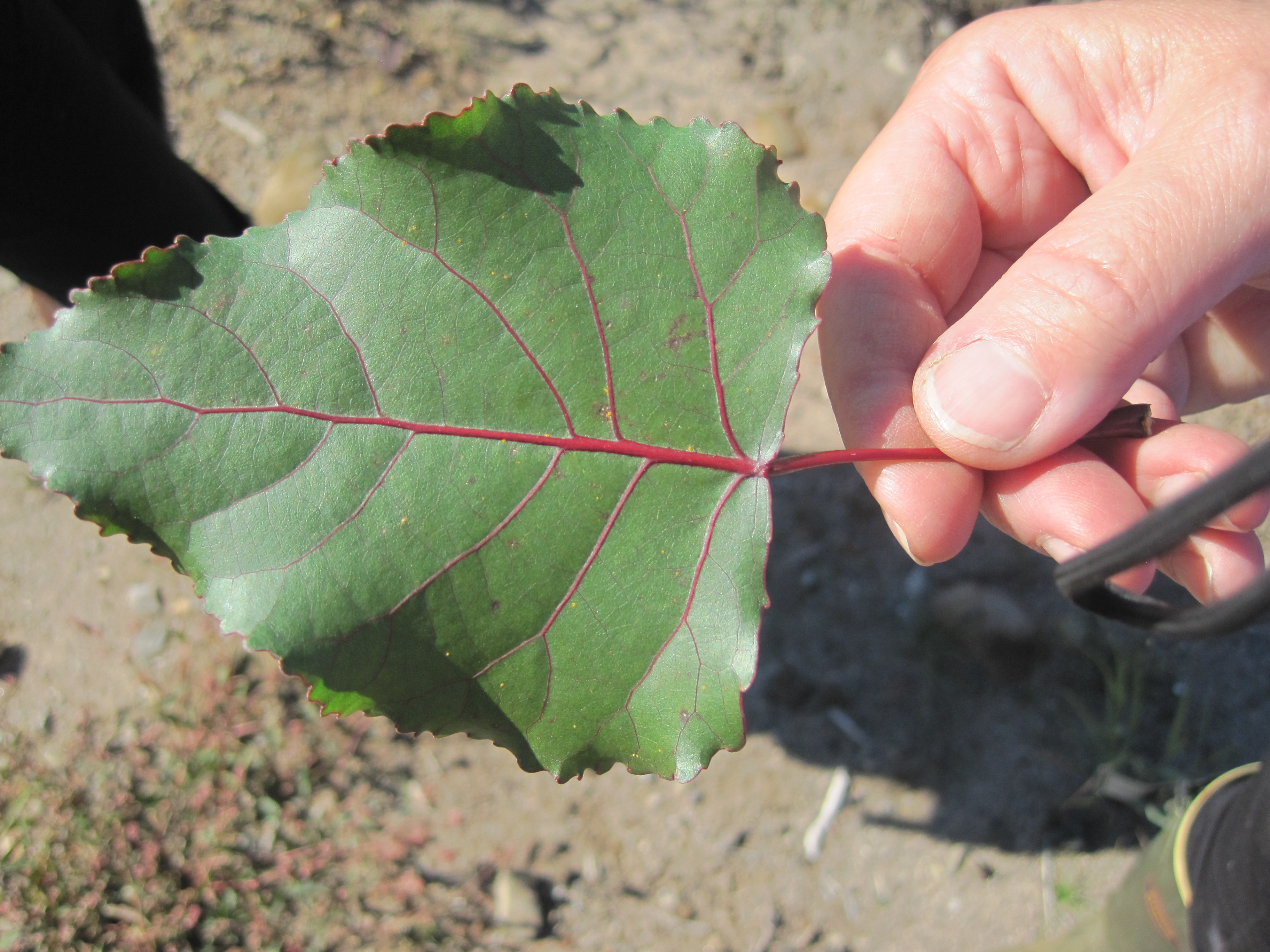 leaf-hand-cottonwood-sapling