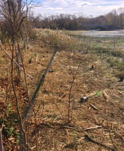 Young shrubs planted behind protective fencing in a fall landscape